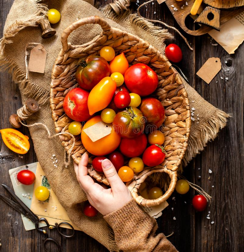 Overhead shot of homegrown assorted red, yellow, orange tomatoes in wicker straw basket in woman hands. On sackcloth on rustic wooden table, autumn harvesting stock image