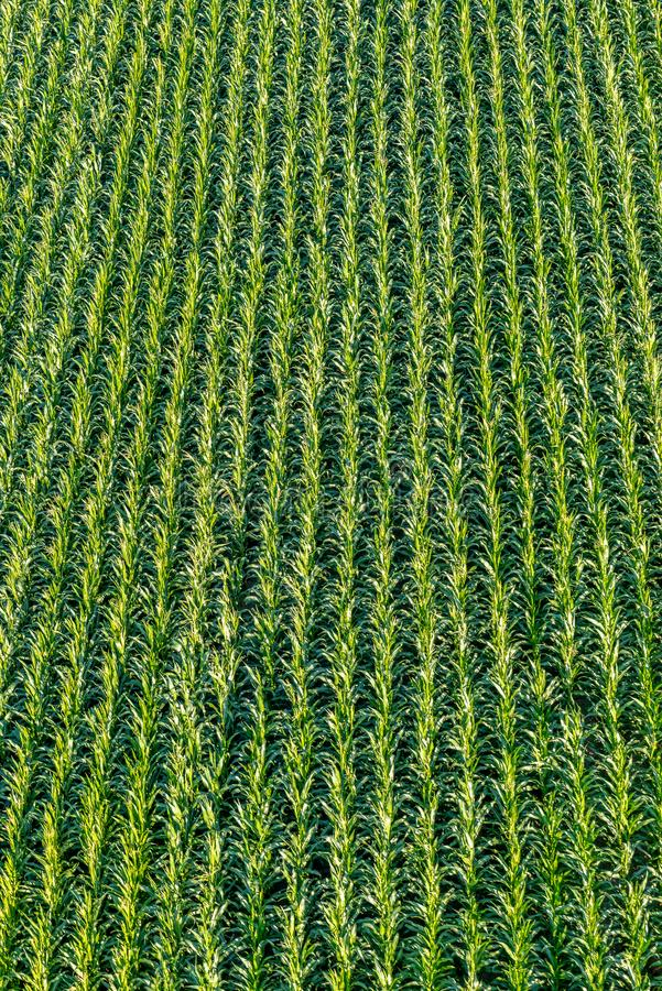 Overhead view from above on a field of young corn stock photos