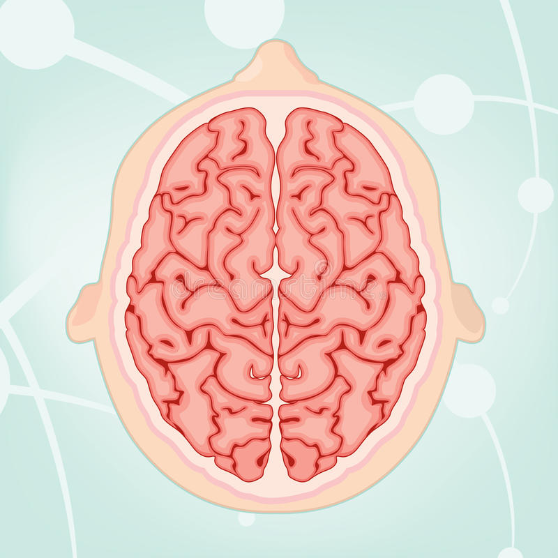 Overhead View of a Brain royalty free stock photos