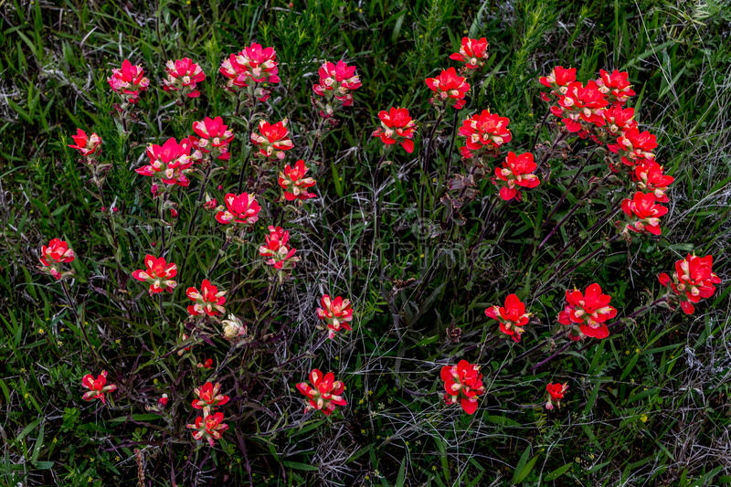 An Overhead View of a Cluster of Bright Orange Indian Painbrush Wildflowers in a Roadside Meadow in Oklahoma. stock photos