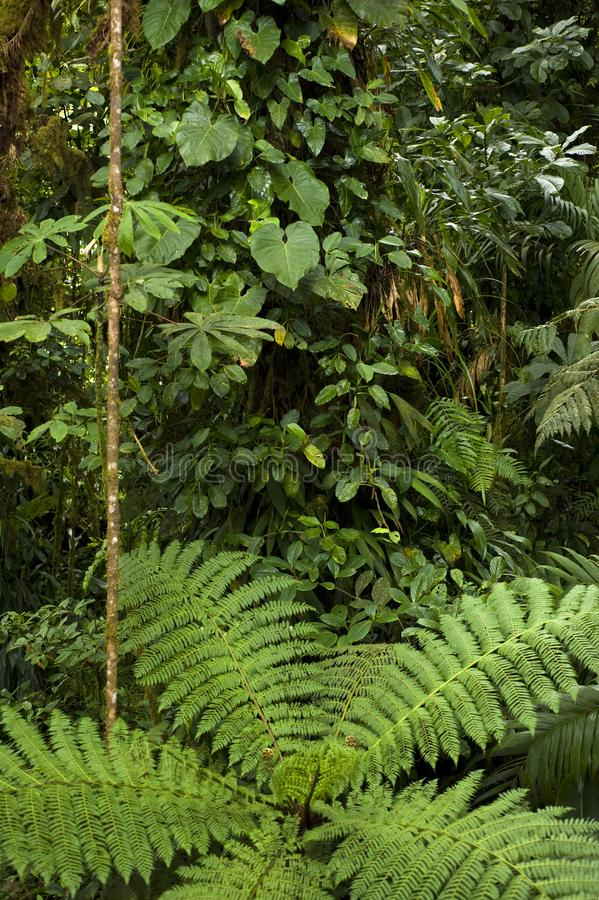An overhead view provides a different perspective of the lush foliage on the rainforest floor in the Monteverde Cloud Forest. The Monteverde Cloud Forest Reserve royalty free stock photos