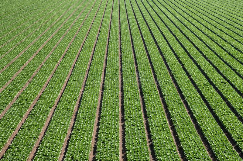 Aerial view of rows of green lettuce forming an abstract pattern of lines moving towards perspective into the distance. An agricultural scene of a green field royalty free stock photos