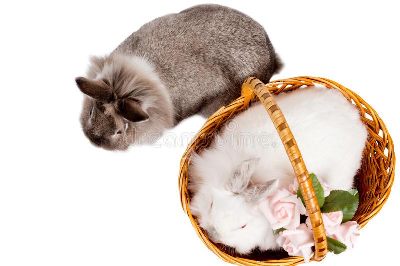 Overhead view of two pet rabbits. Overhead view of two beautiful little pet rabbits, a white one in a wicker basket with pink roses and a fluffy grey one royalty free stock photography