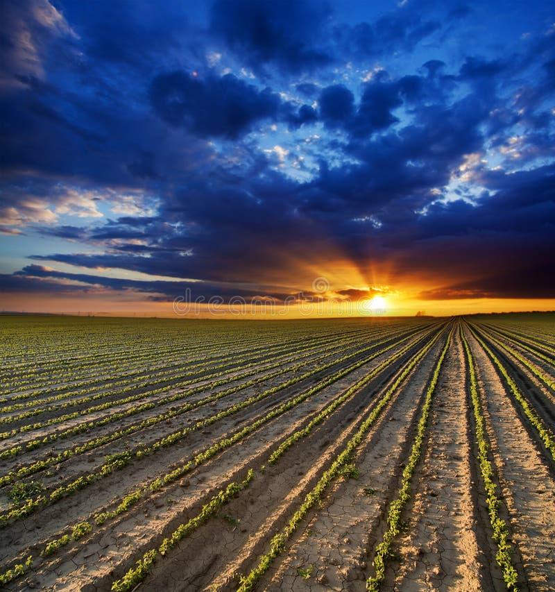 Overklig solnedgång över växande sojabönaväxter arkivbild