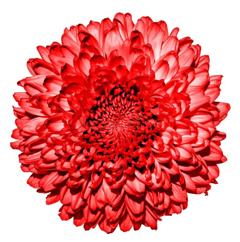 Overkligt mörker - röd blommamakro för krysantemum (guld--tusensköna) royaltyfri fotografi