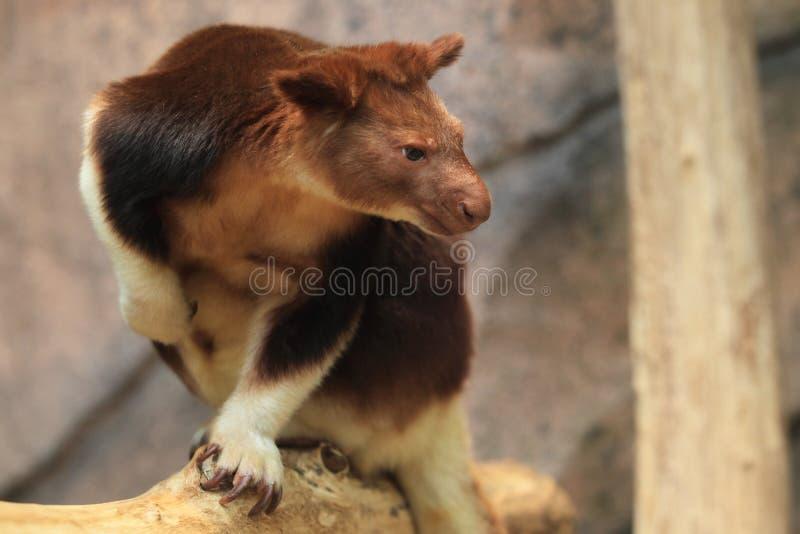 Overladen boom-kangoeroe royalty-vrije stock foto