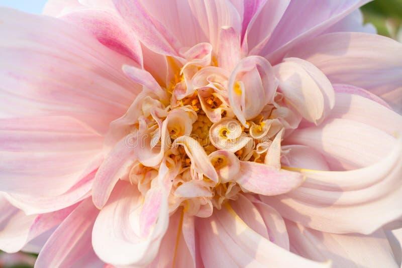 Overladen grote en kleine bloemblaadjes van bleek - roze Dahliaclose-up stock foto's