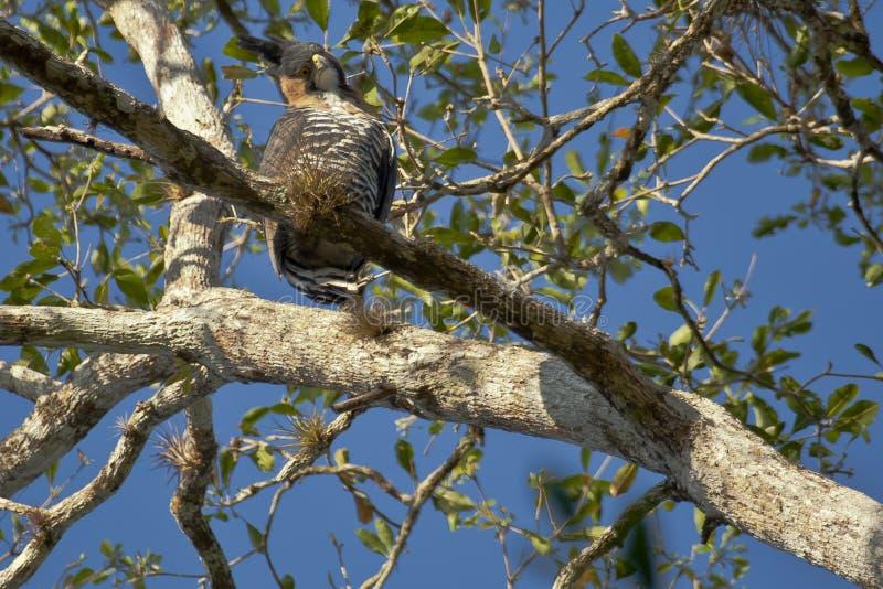 Overladen Hawk Eagle Looking neer van Toppositie royalty-vrije stock foto's