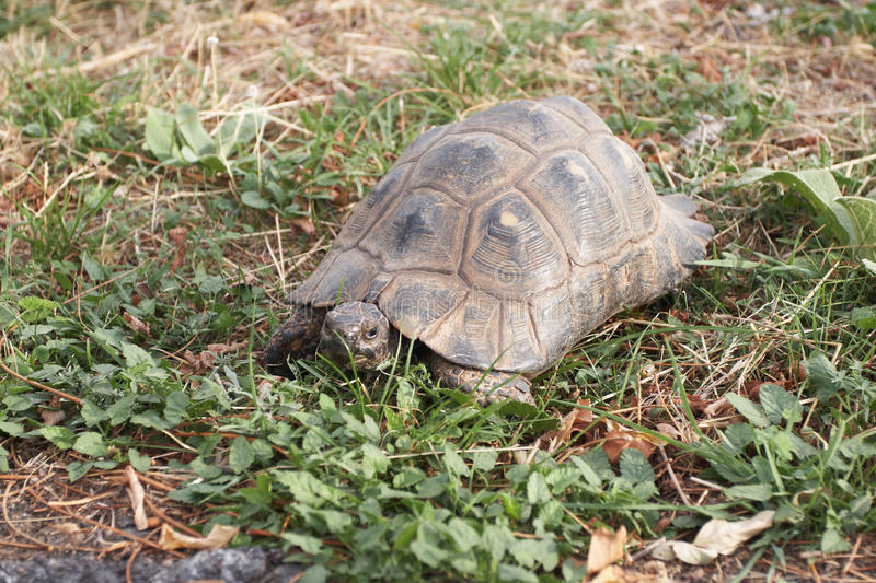 Download The overland turtle stock photo. Image of nature, mediterranean - 25700558