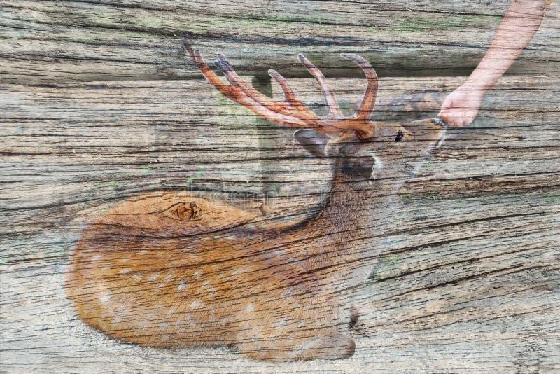 Overlay a amizade entre o turista e a madeira velha do AON dos cervos foto de stock royalty free