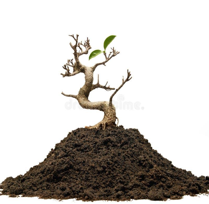 Overlevendeboom royalty-vrije stock foto's