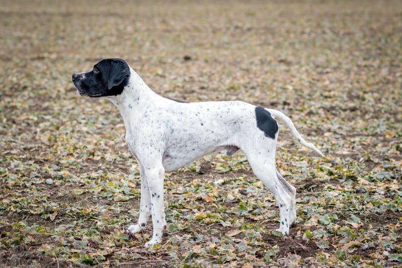 Overno Bracke, ein anderer Name für Auvergne-Zeiger, einen Hund mit einem quadratischen Körper und hohe Beine lizenzfreie stockfotos