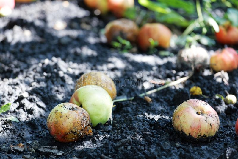 Overripe and rotten fruits of apples lies on the ground in the mud stock photo