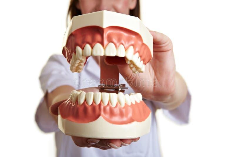 Oversized teeth model biting. Dentist holding an oversized teeth model biting royalty free stock photography