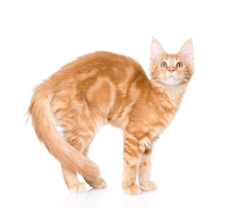Overspannen kat die zich in zijaanzicht bevinden Geïsoleerdj op witte achtergrond stock afbeelding