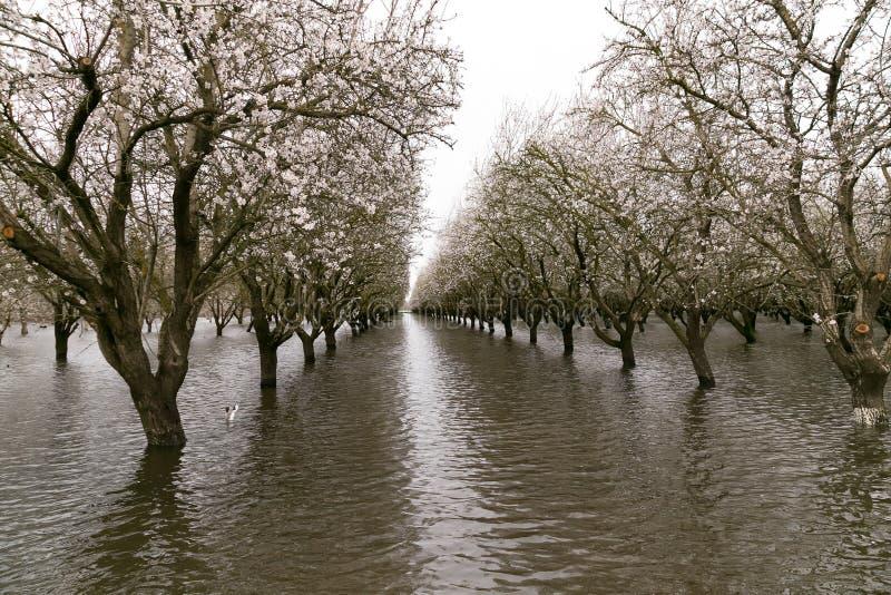 Overstroomde Boomgaard dichtbij Chico, Californië royalty-vrije stock foto