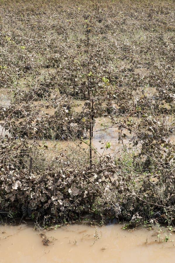 Overstroomde wijngaarden in het Zuiden van Frankrijk stock afbeelding
