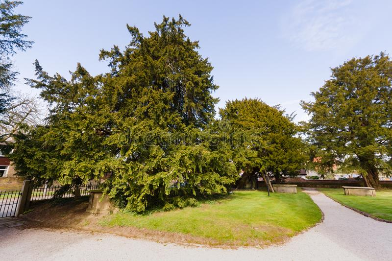 Overton Yew Trees. The ancient yew trees the oldest is thought to be 1500-2000 years old. One of the seven wonders of Wales at Saint Mary the Virgin Church royalty free stock photo