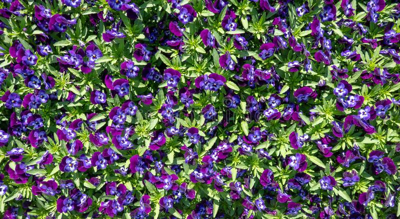 Overview of a bed with violet pansies in full bloom, pattern, scientific name Viola cornuta. Overview of a bed with violet pansies in full bloom, scientific name royalty free stock photography