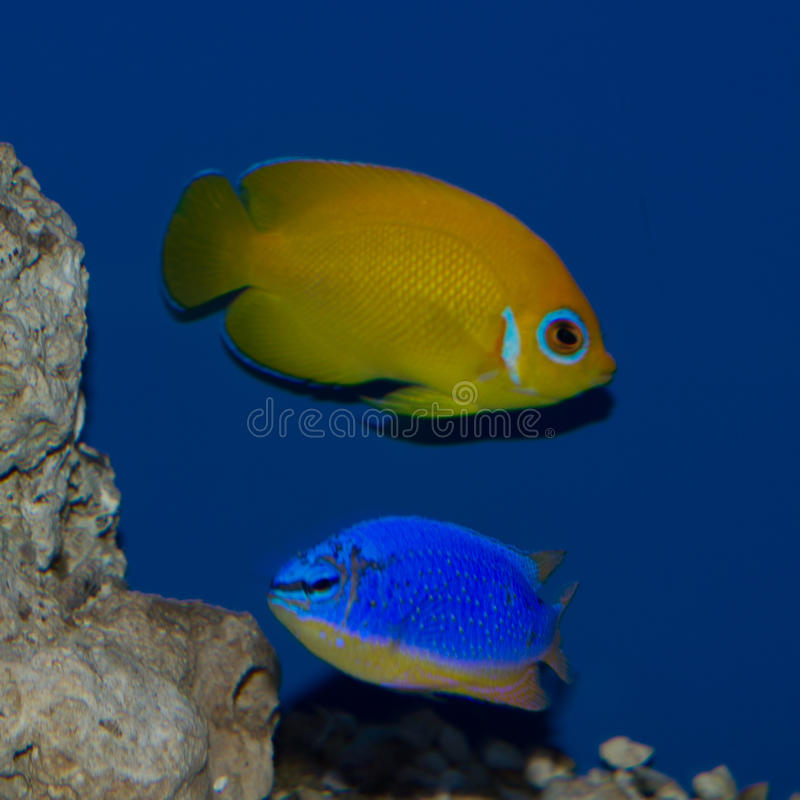 Lemonpeel Angel and Fiji Blue Devil Damsel. The Lemonpeel Angelfish is a cheery yellow with sky-blue highlights on the lips, encircling the eyes, on the pectoral stock photos