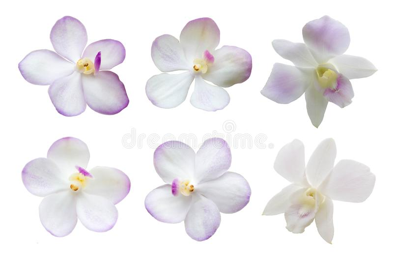 Overview Set Of White Orchid Flowers Isolated On White Background, Motley Brindle Flowers, Nature. royalty free stock photo