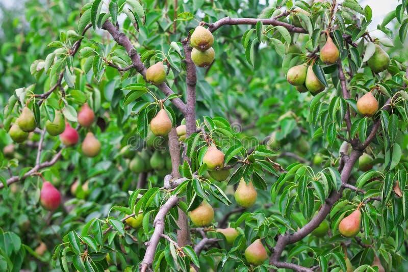 Overvloed die van peren op een boom groeien stock afbeelding
