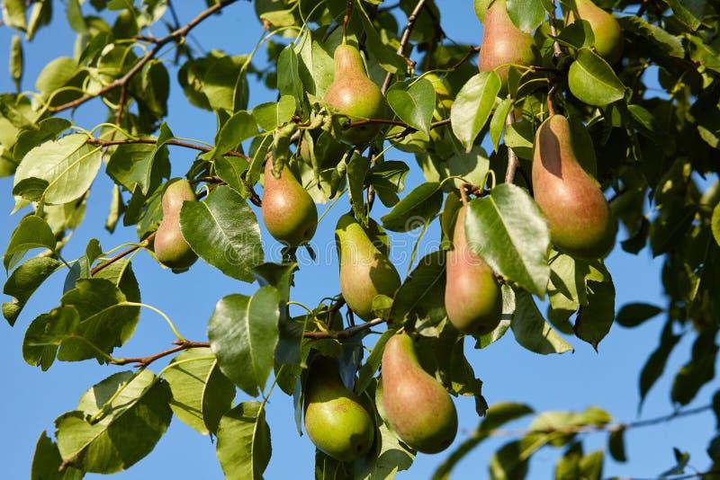 Overvloed die van peren op een boom groeien Blauwe hemelachtergrond stock fotografie