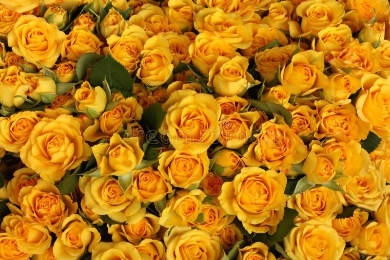 Overvloed van gele rozen royalty-vrije stock foto