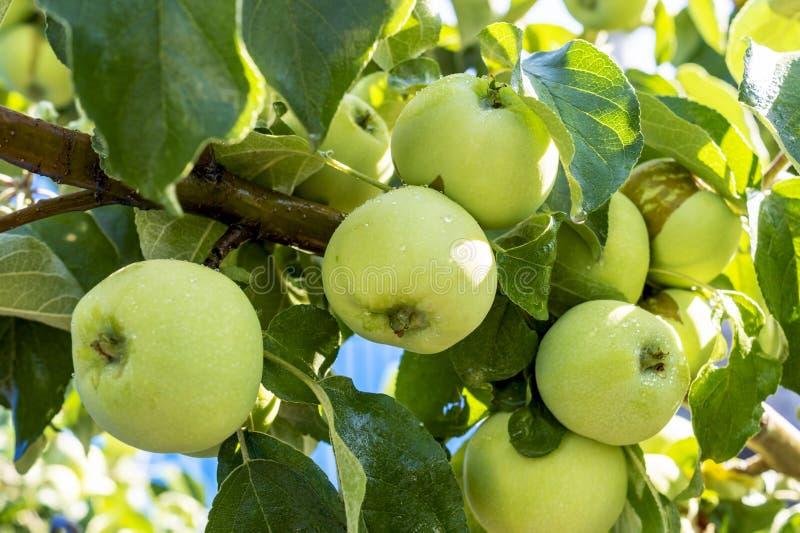 Overvloedige oogst van groene appelen met dalingen van water na regen op de tak van de appelboom Een groene appel rijpt op een ta stock afbeelding