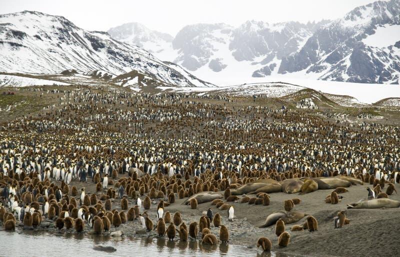 Overvolle Valleien - Pinguïnen, Zuid-Georgië royalty-vrije stock fotografie
