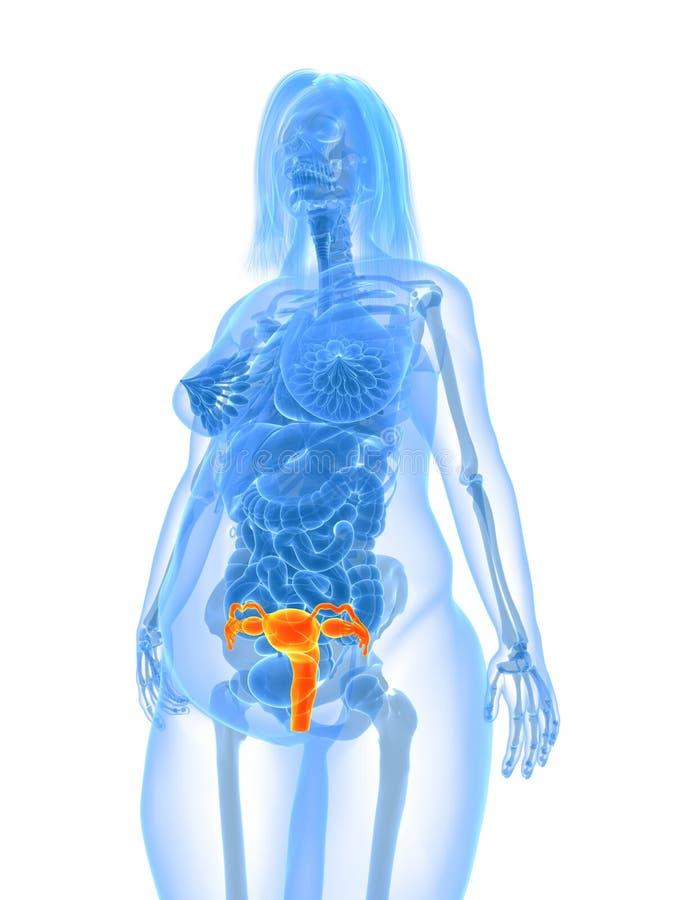 Overweight Female - Uterus Royalty Free Stock Photos
