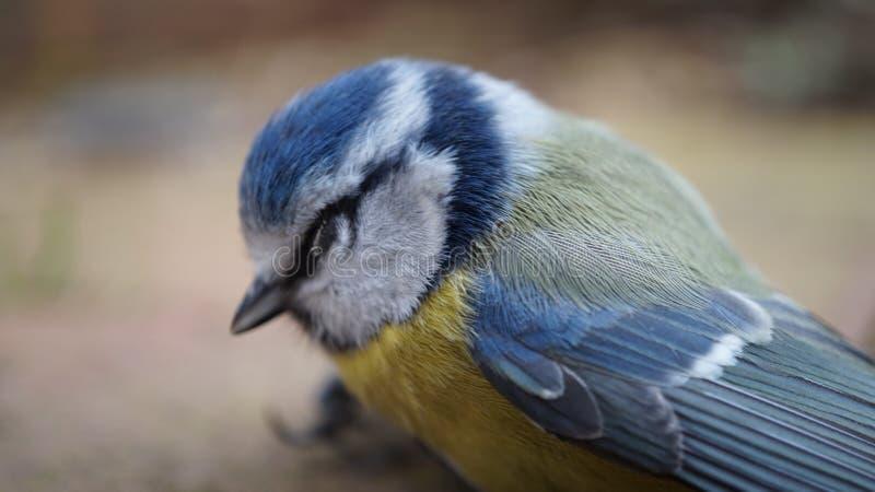 Overweldigde Bluetit-Vogel royalty-vrije stock foto's