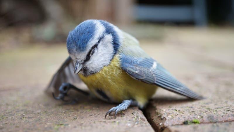 Overweldigde Bluetit-Vogel royalty-vrije stock afbeeldingen