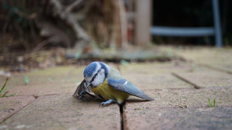 Overweldigde Bluetit-Vogel stock afbeeldingen