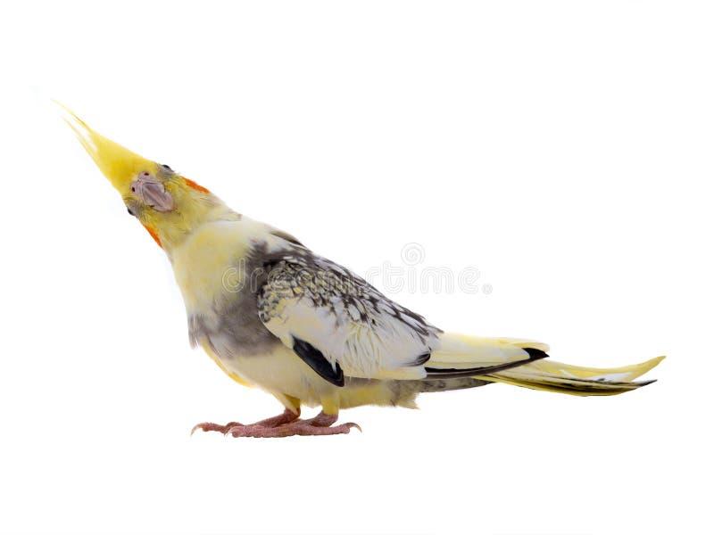 Overweldigde cockatiel geïsoleerde papegaai stock foto's