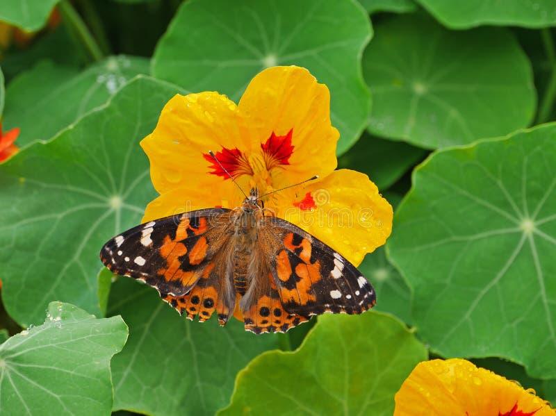 Overweldigend close-up van vlinder op gele bloem royalty-vrije stock afbeelding