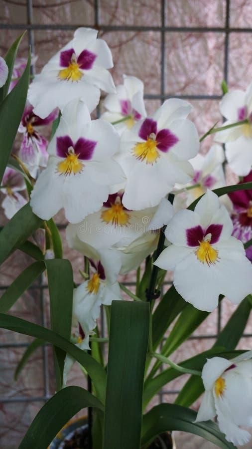 Overweldigend de lentelandschap, beroemde Keukenhof-tuin met kleurrijke verse tulpen, stock foto's