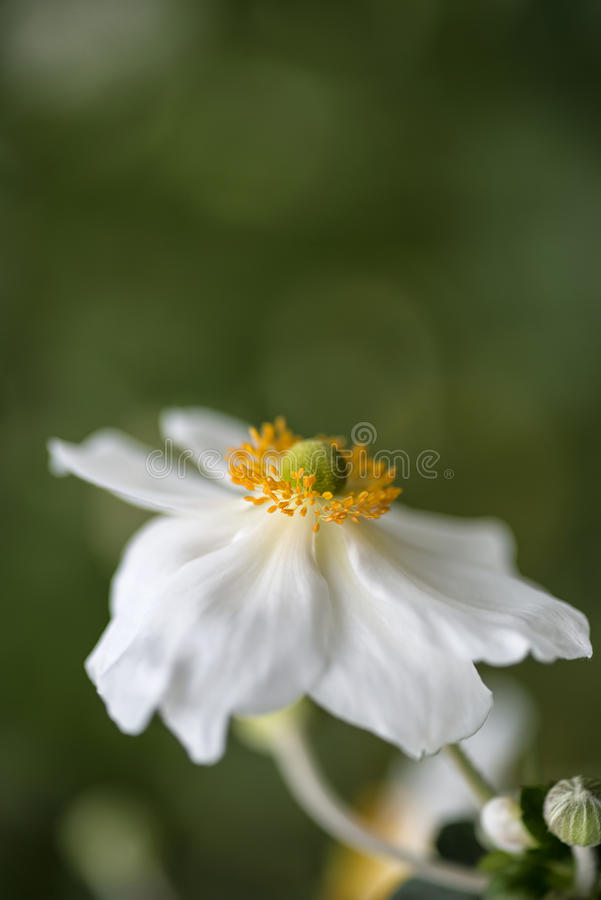 Overweldigend dicht omhooggaand beeld van witte anemoonbloem in de Zomer royalty-vrije stock foto