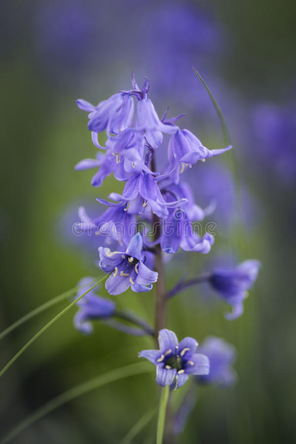 Overweldigend macro dicht omhooggaand bloemportret van Hyacinthoides Hispani stock foto