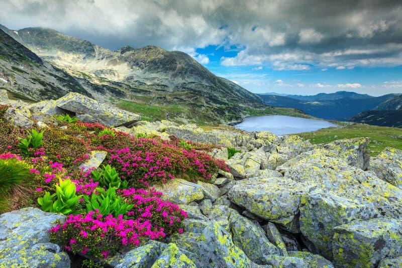 Overweldigend rododendronbloemen en Bucura-bergmeer, Retezat-bergen, Roemenië royalty-vrije stock fotografie