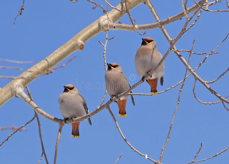 Overweldigend voorraadbeeld van drie waxwings op boomtak stock afbeelding
