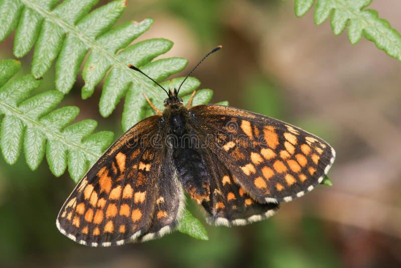 Overweldigend zeldzaam die Heath Fritillary Butterfly, Melitaea-athalia, op een adelaarsvaren met uitgespreide vleugels wordt nee royalty-vrije stock afbeelding
