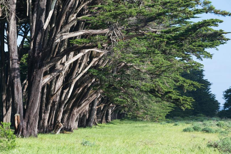 Overweldigende Cipressteeg op Punt Reyes National Seashore, Californië, Verenigde Staten Fairytalebomen in de mooie dag stock foto