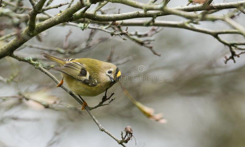 Overweldigende Goldcrest-vogelregulus regulus streek op een tak neer die naar insecten zoeken te eten stock fotografie