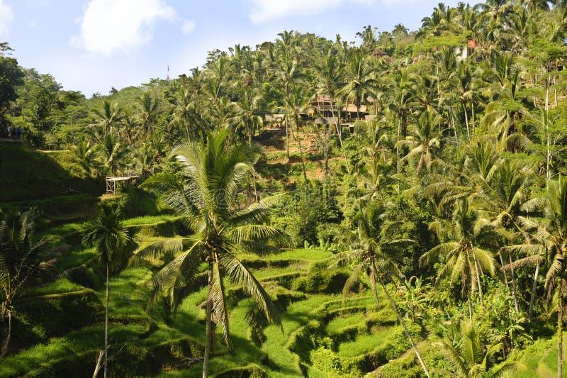 Overweldigende luchthommelmening van mooi het eiland tropisch landschap van Bali met palmenwildernis en padieveldterras onder een stock fotografie