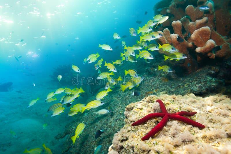 Overweldigende rode zeester en snappers stock foto's