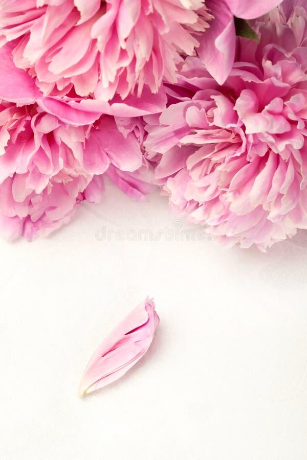 Overweldigende roze pioenen en één bloemblaadje op witte achtergrond stock afbeeldingen