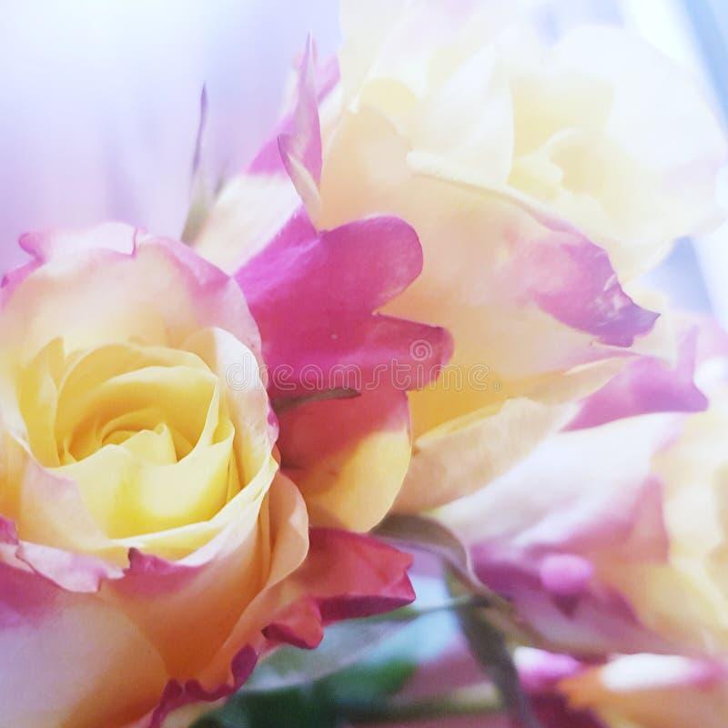 Overweldigende rozen yellowpurple royalty-vrije stock foto's