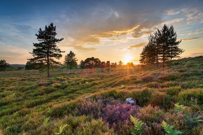 Overweldigende zonsondergang over heide en Scots Pijnboombomen op Slepe-Dopheide stock afbeeldingen
