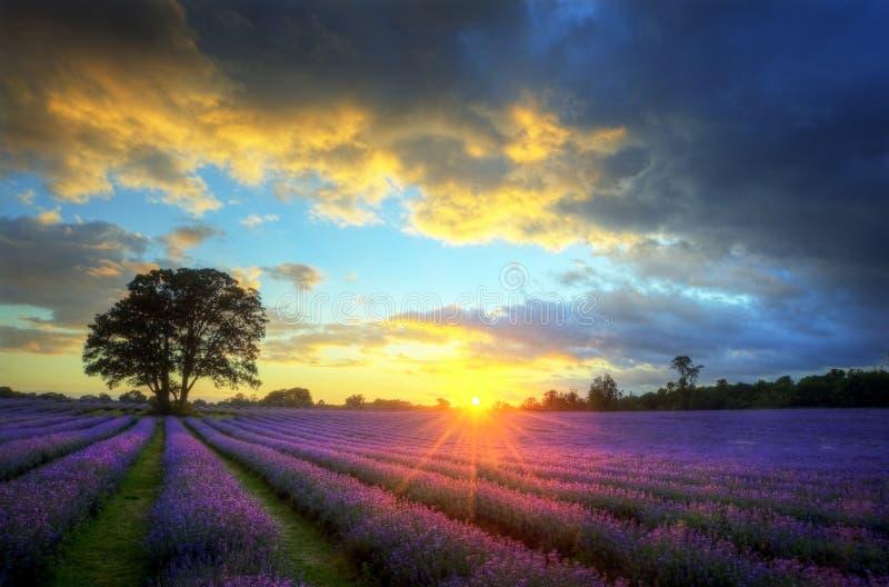 Overweldigende zonsondergang over lavendelgebieden stock afbeeldingen